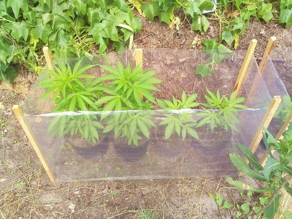 Tuliszków: 30-latek hodował konopie w ogródku....